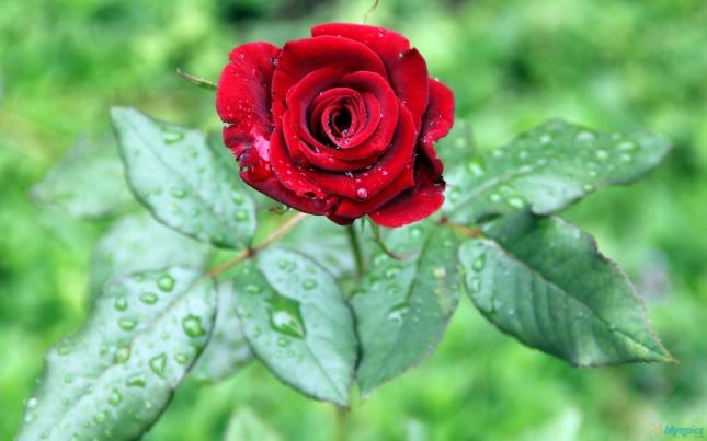 Drops-of-rain-in-a-rose-hd-wallpaper-1080